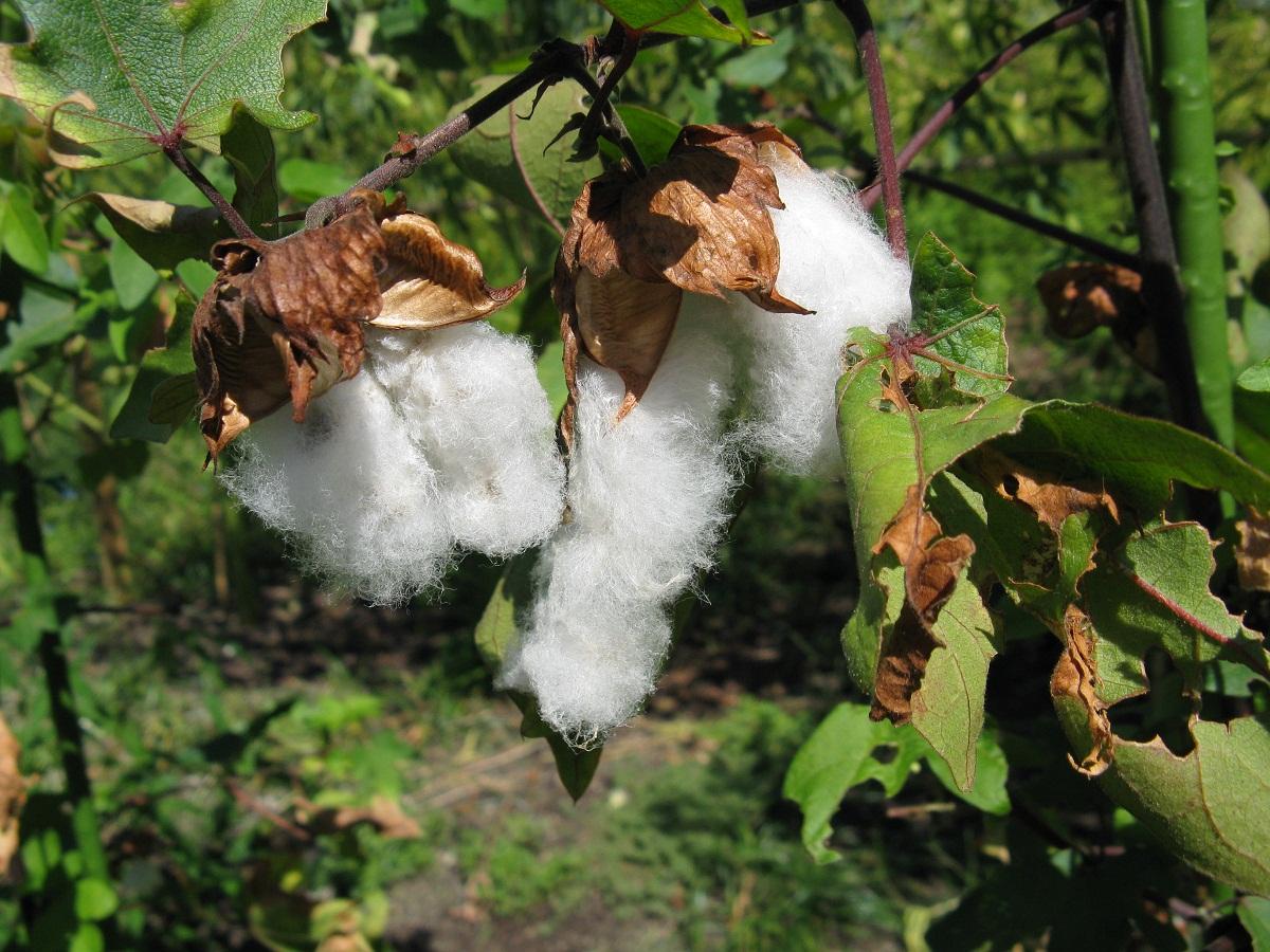 Hay muchas variedades de algodón