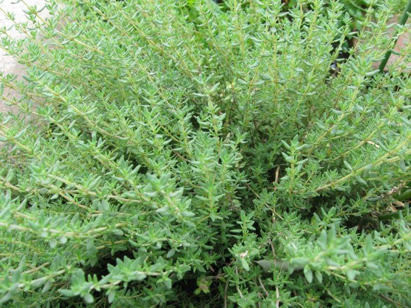 El tomillo es una planta mediterránea