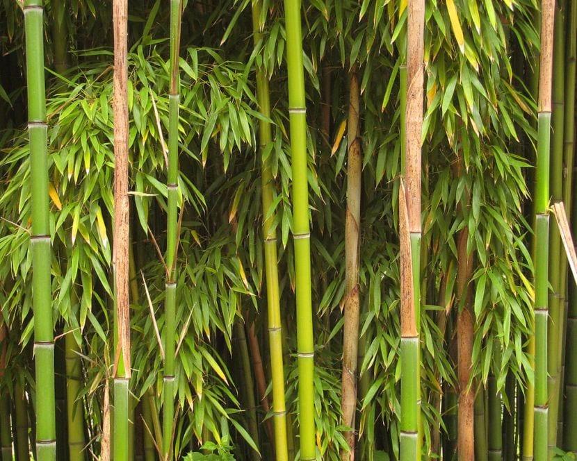 Bambú Richelieu