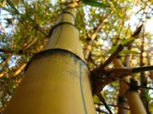 Bambú imperial