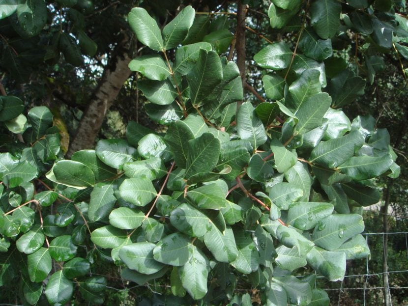 Hojas de Ceratonia siliqua