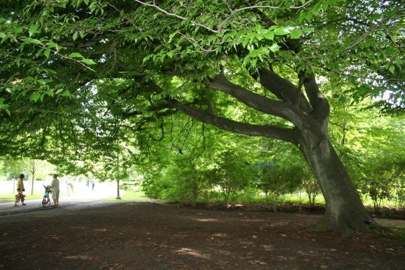 6 rboles de sombra perfectos para climas c lidos o templados for Arboles frutales de hoja perenne para jardin