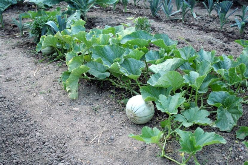 Planta de melón