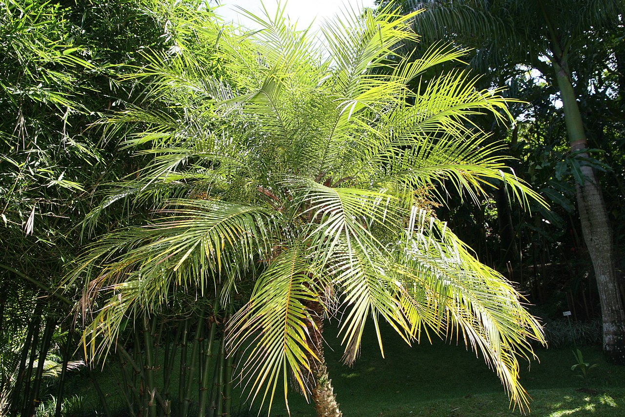 La palmera enana es perfecta para decorar piscinas