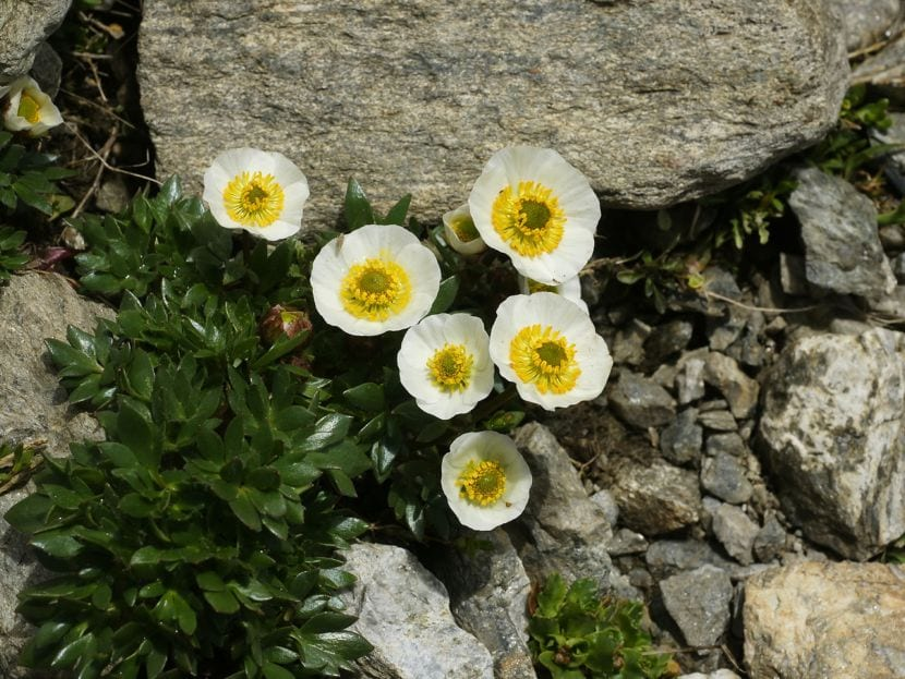 Ranunculus_glacialis