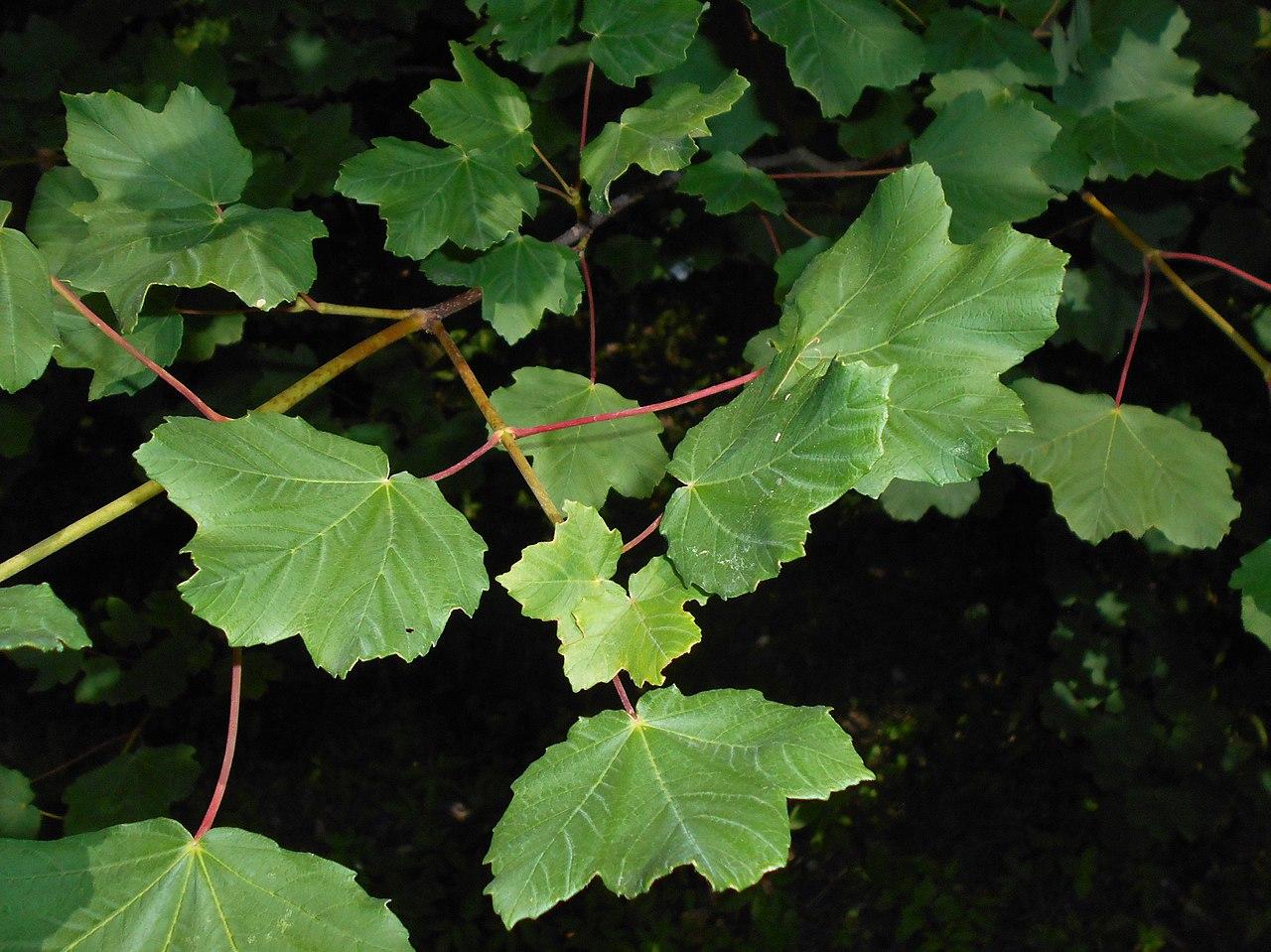 El Acer opalus es un árbol mediterráneo resistente al viento