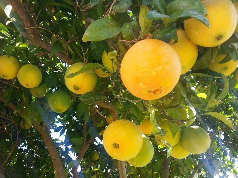 Tipos de rboles frutales for Tipos de arboles y sus caracteristicas