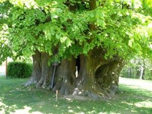 Árboles hoja perenne