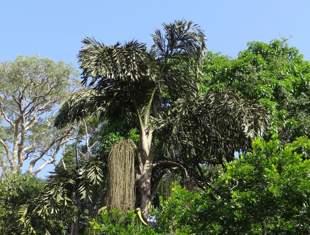 la Caryota urens es una palmera tropical monocárpica