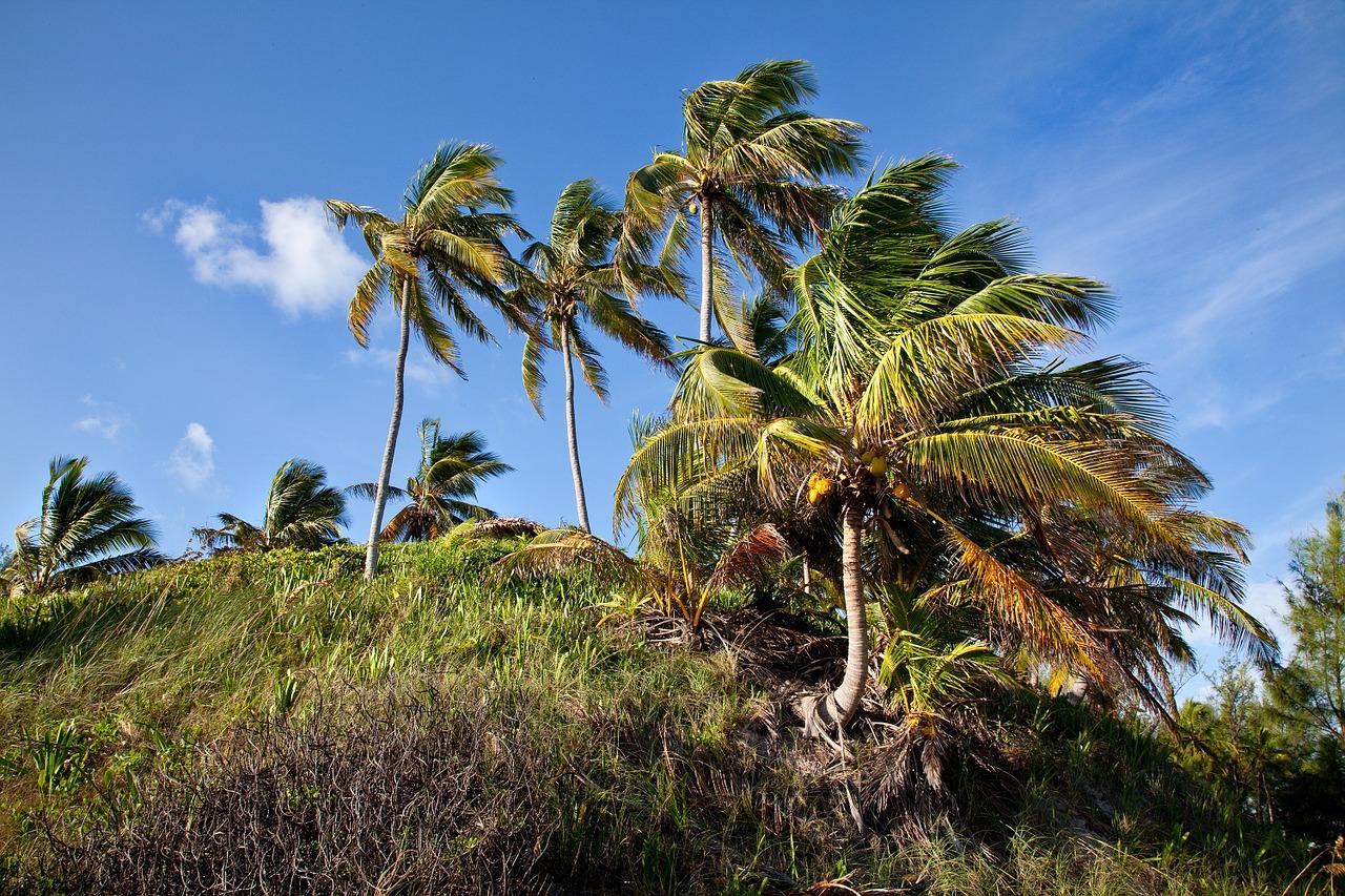 Las palmeras resisten el viento