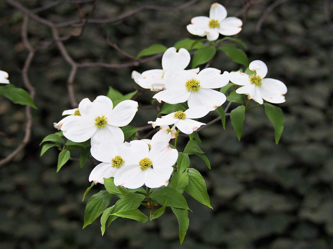 El cornejo florido es un árbol caducifolio