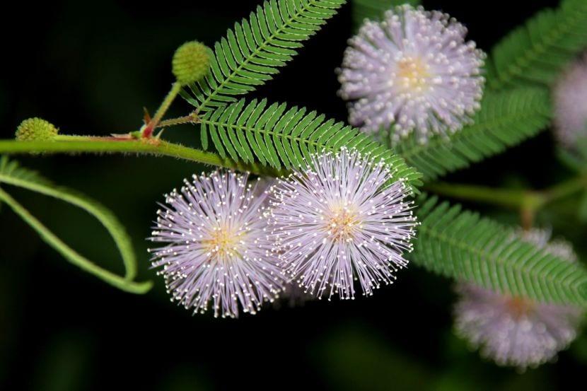 Flor de la Mimosa pudica
