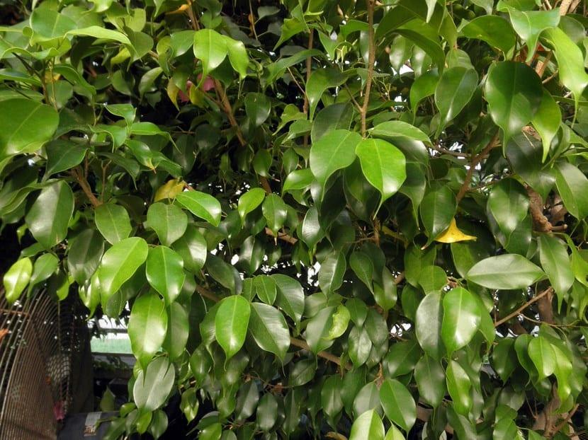 Categor as de rboles de hoja perenne for Arboles de hoja perenne para jardin