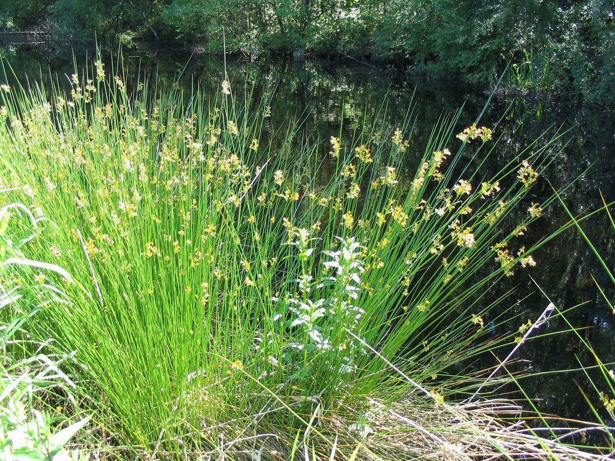 El junco es una planta de ribera pequeña