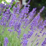 La lavanda es una mata de flores lilas, ideal para la piscina