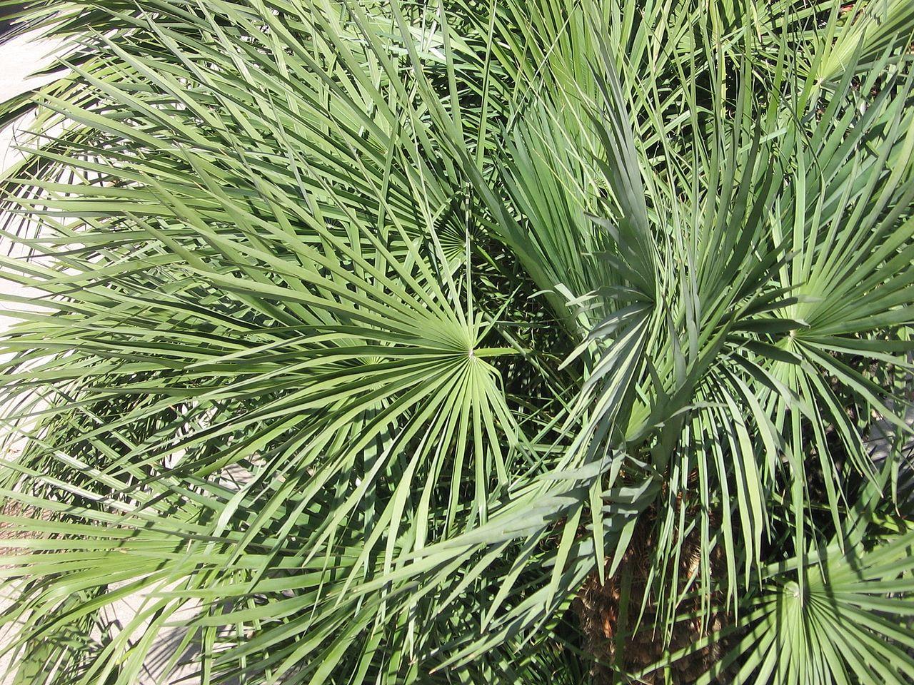 El palmito es una palmera multicaule resistente al viento