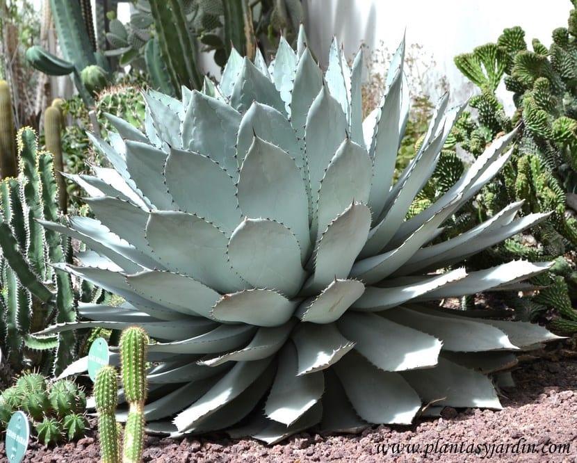 Plantas xerófilas