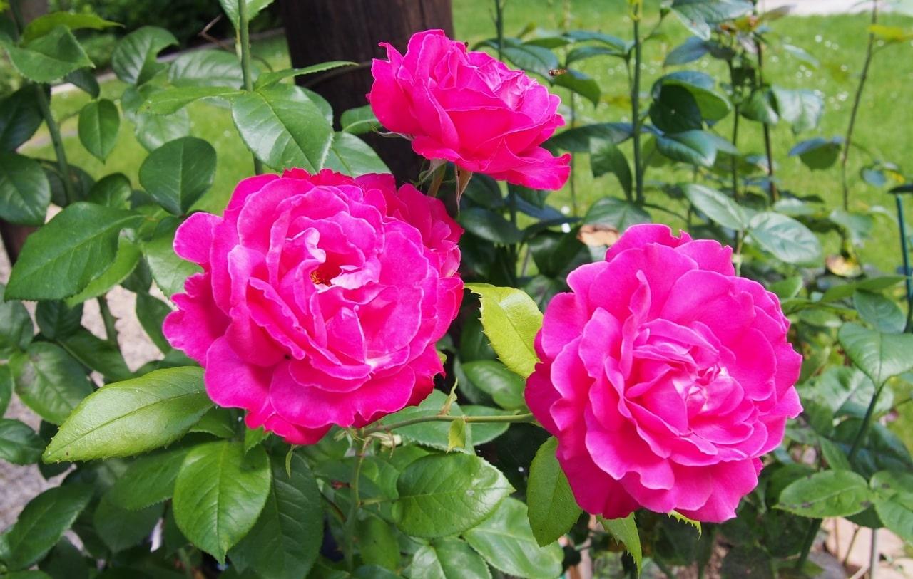 El rosal es un arbusto espinoso que produce flores bonitas
