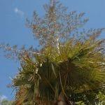 La Tahina es una palmera monocárpica