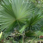 La Tahina es una palmera de lento crecimiento