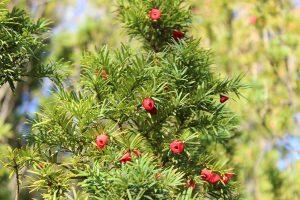 El Taxus baccata es una conífera perenne y muy grande