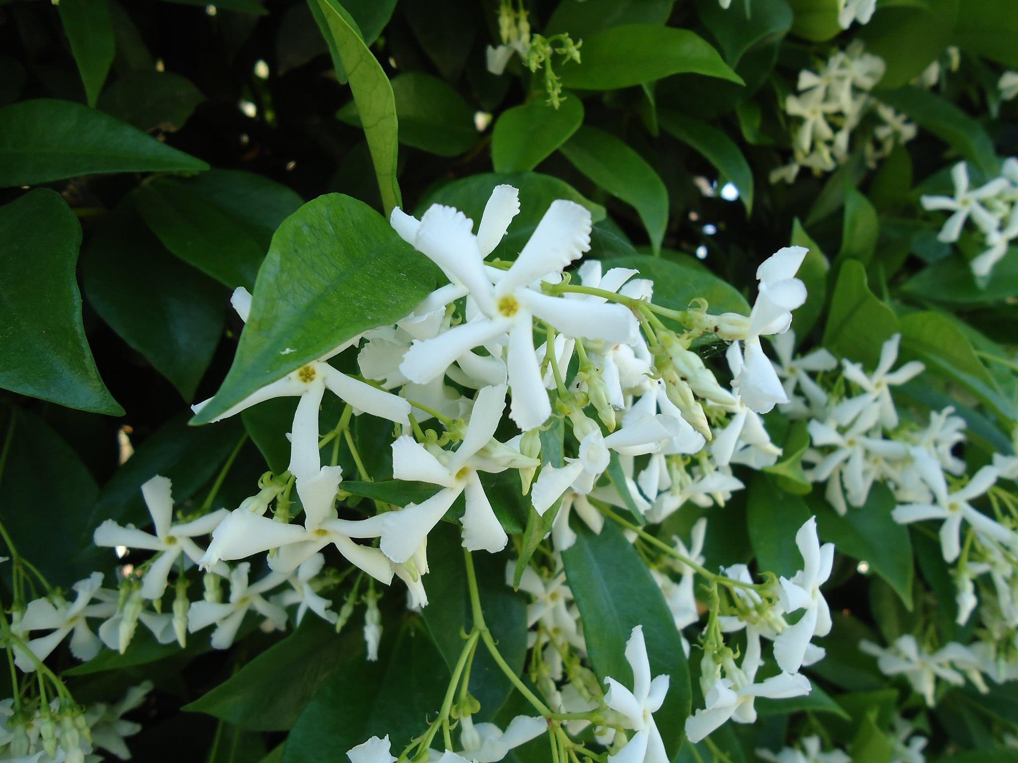 El Trachelospermum jasminioides es una trepadora que produce flores blancas