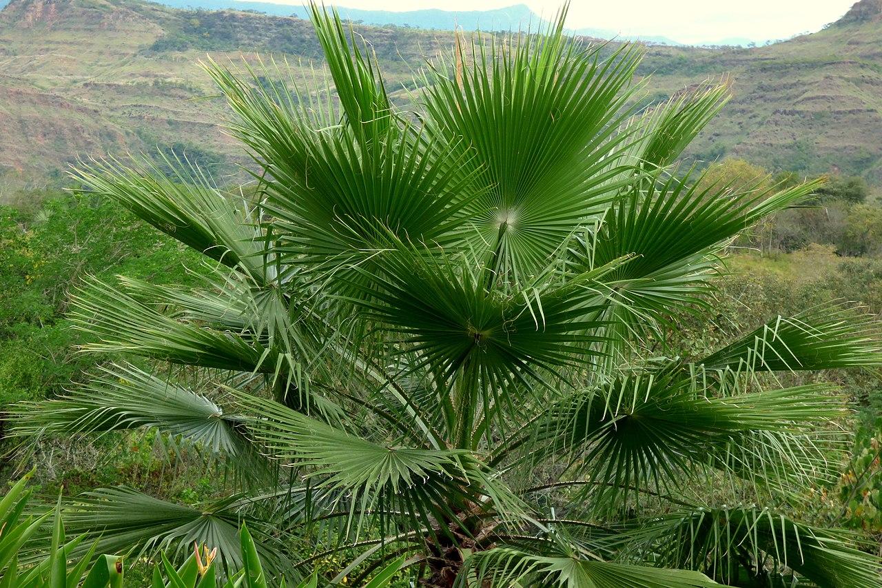 Las Washingtonia son palmeras resistentes al sol y al viento
