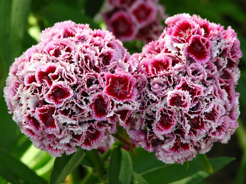 Lista de flores vivaces para tener en maceta