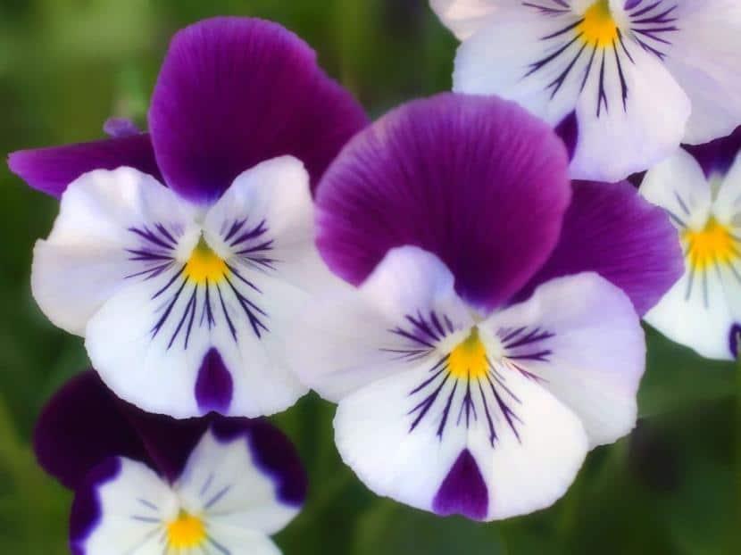 Pensamientos en flor