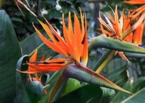 Strelitzia reginae, una planta de flores muy curiosas