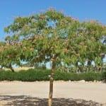 Árbol de Albizia julibrissin en un jardín