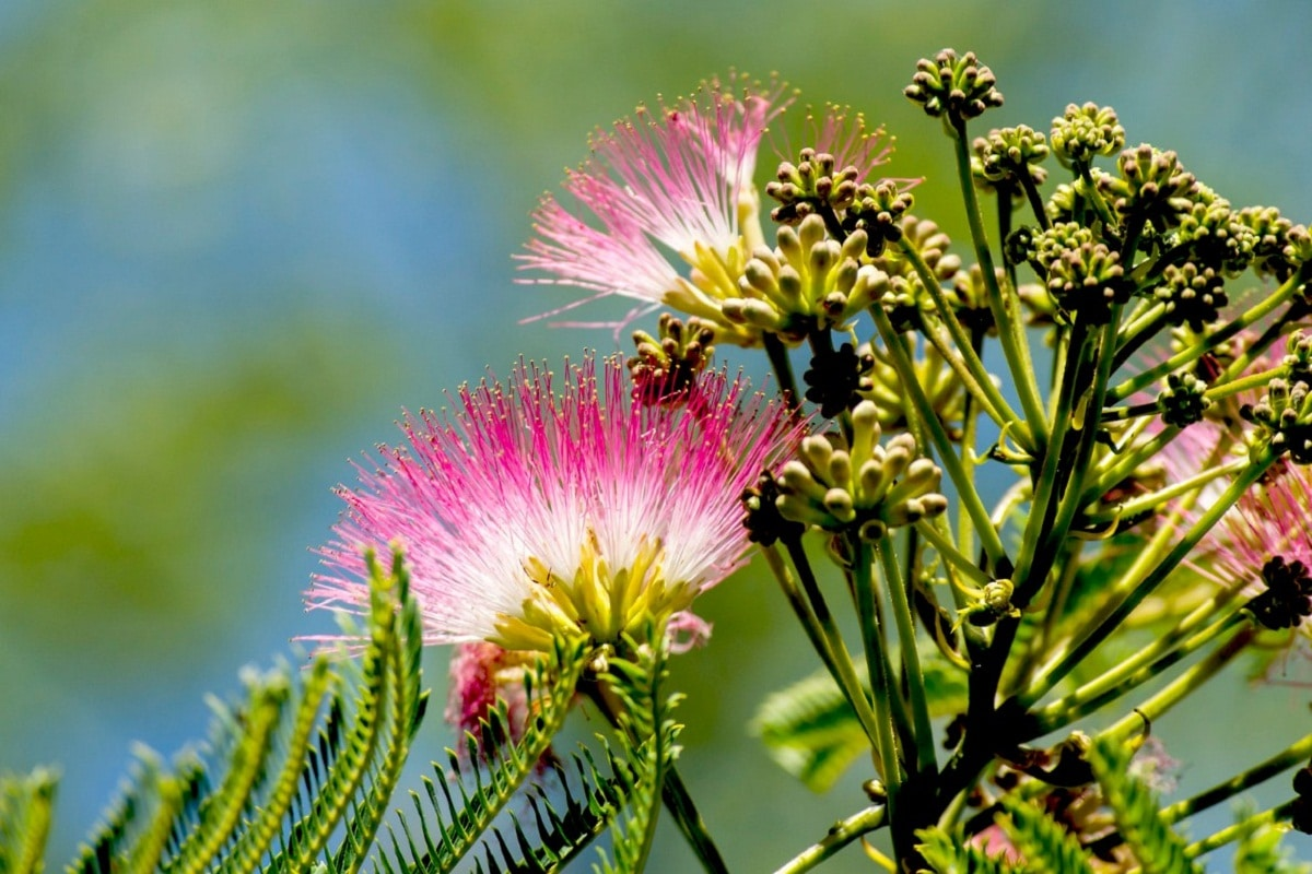 La Albizia julibrissin es un árbol caduco
