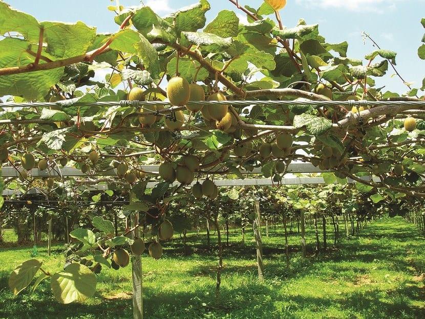 Cultivar kiwis en casa for Arboles para plantar en invierno