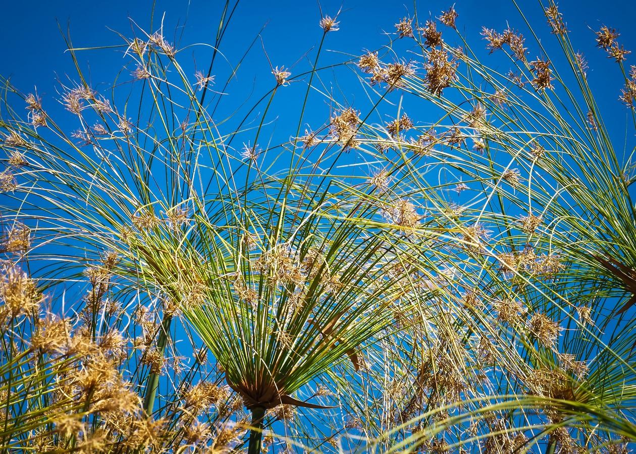 Las flores del papiro son marrones