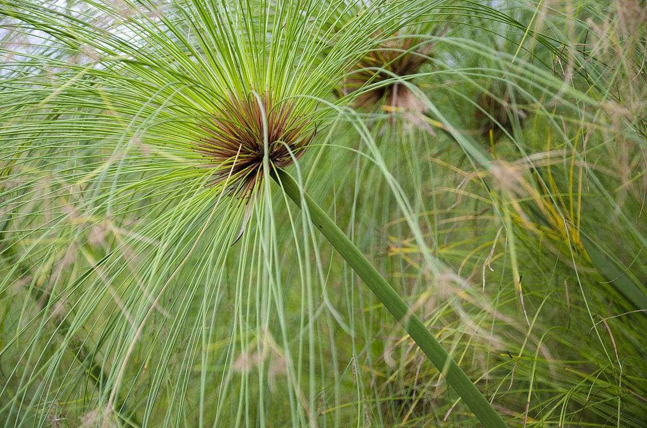 El papiro es una planta que quiere mucha agua