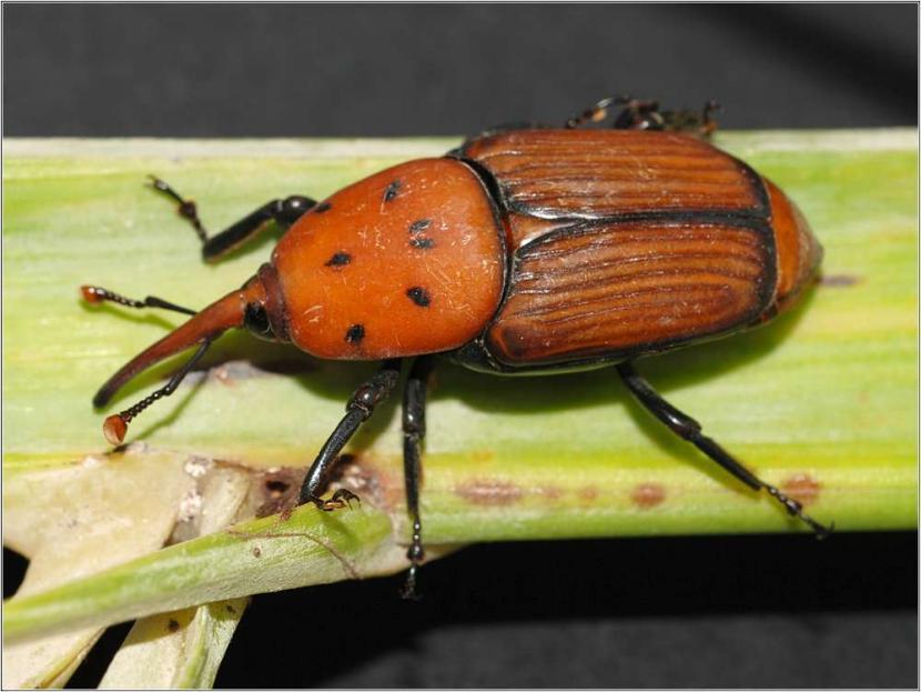 Picudo rojo, una plaga potencialmente mortal para las palmeras