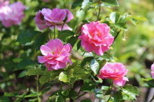 Los rosales en maceta quieren mucha agua