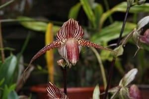 Orquídea Kinabalu
