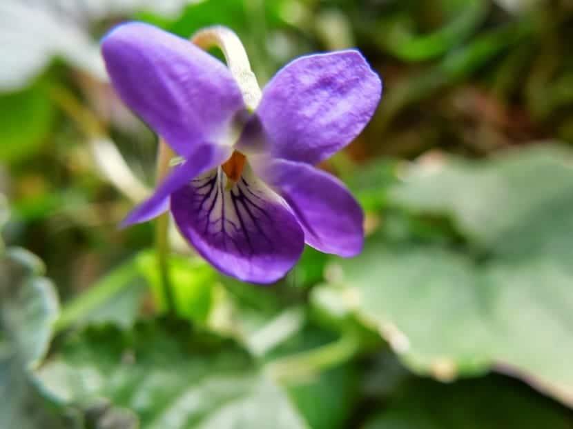 Violetas de olor