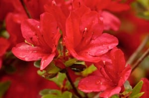 Azalea flor roja