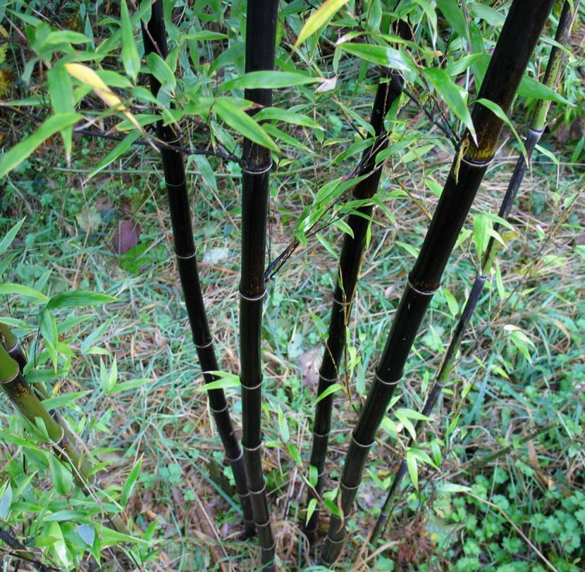 Bambú negro