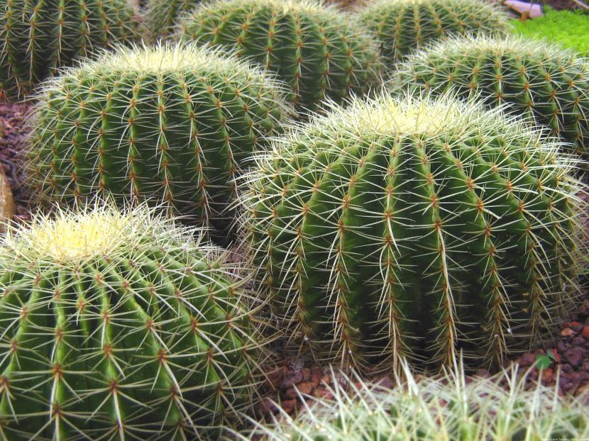 Echinocactus grussonii