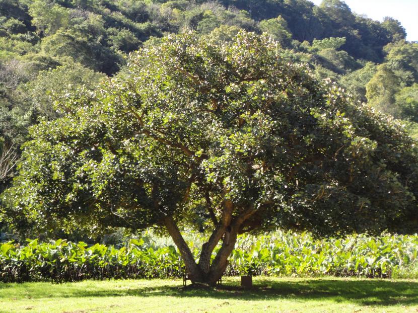 Erythrina caffra