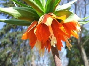 Fritillaria imperialis Rubra