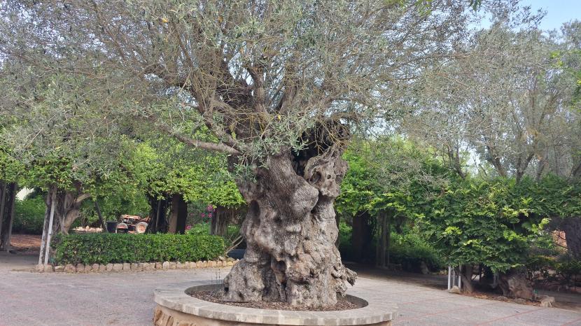 Plantas para un jard n mediterr neo for Diseno jardin mediterraneo