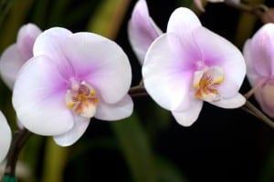 Phalaenopsis Maki
