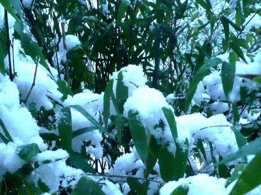 Phyllostachys nigra cubierto de nieve