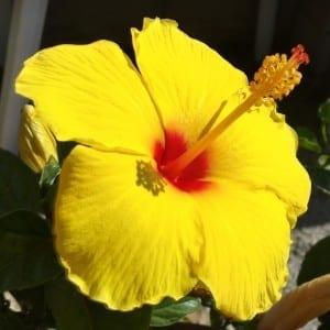 Hibiscus Sunny Wind