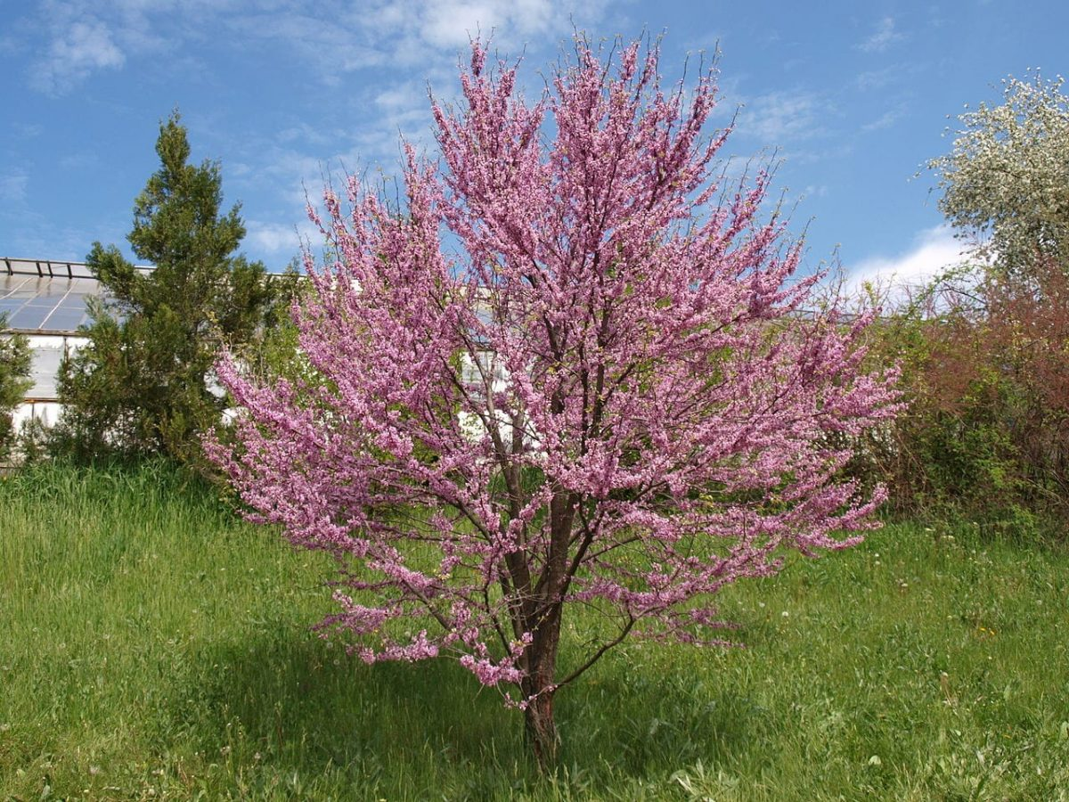 El árbol del amor es una planta de exterior