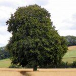 El haya es un árbol grande que quiere mucha agua